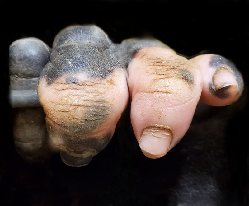 gorilla hands look human pink pigmentation Amazing Closeup of a Gorillas Hand with Vitiligo