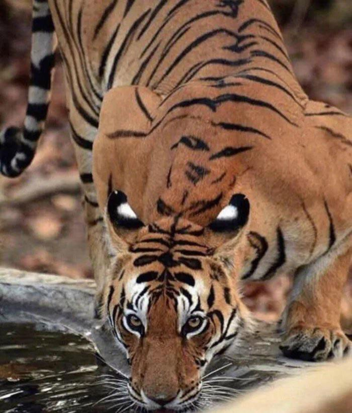 so tigers have eyespots on their back as intimidation when they drink 2 So Tigers Have Eyespots on their Back as Intimidation When They Drink