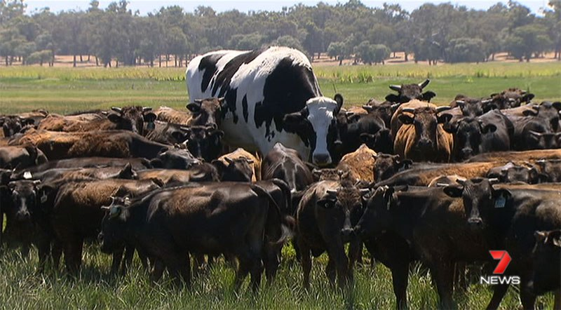 biggest cow steer ever in australia 5 Absolute Unit Deemed Too Big for Abattoir Will Live Out Its Days Grazing