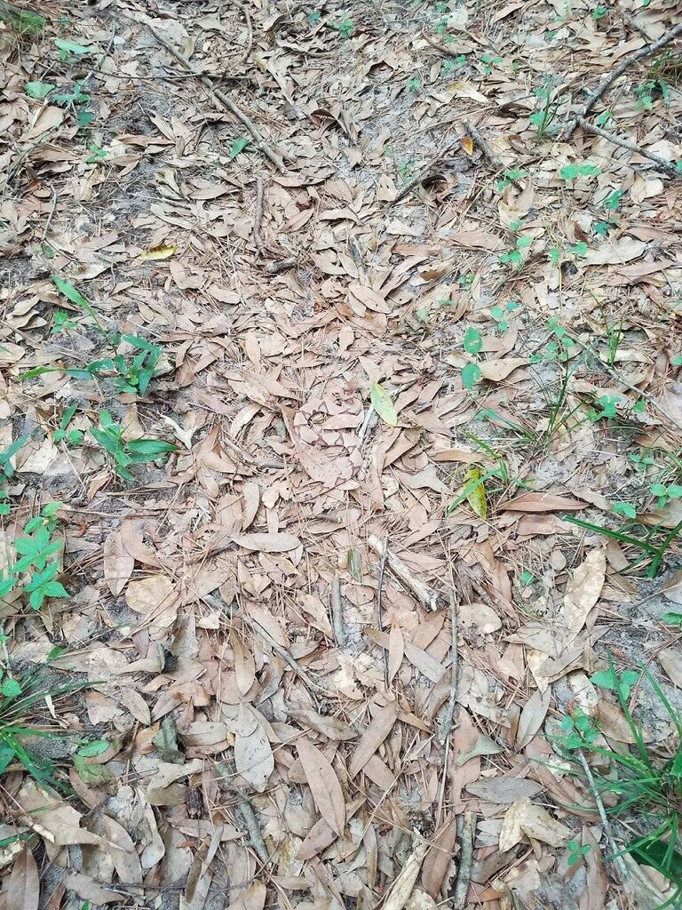 camo snake in leaves copperhead twitter Theres a Venomous Snake in this Photo