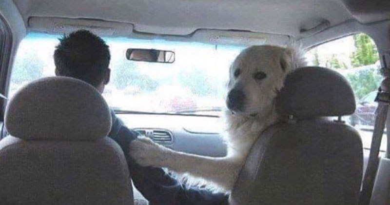 dog in front seat looking back The Shirk Report – Volume 480